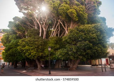 Giant trees in a square of San Sebastian de La Gomera
