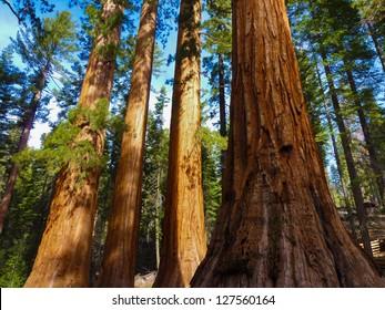 Giant Trees in Yosemite National Park,California