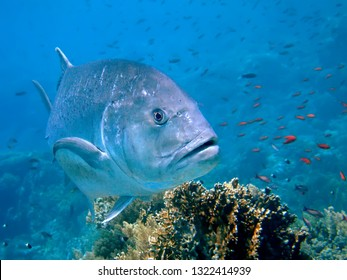 Giant Trevally (Caranx ignoblis). Taken in Red Sea, Egypt.