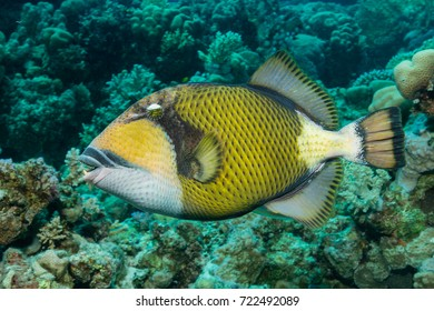 Giant Triggerfish on a coral reef