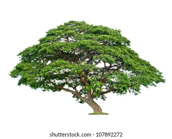 Giant tropical tree isolated on white