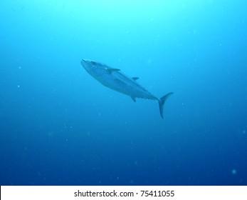 Giant tuna fish