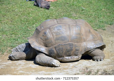 Giant turtle comes out of the water.  a giant turtle baths and comes out of the water, photographic series.