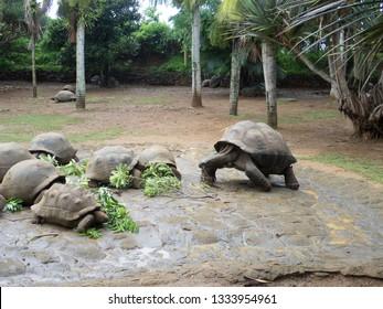 Giant turtle at La Vanille Nature Park, Mauritius. The Vanille Réserve des Mascareignes nature park, is located in the South of Mauritius island.
