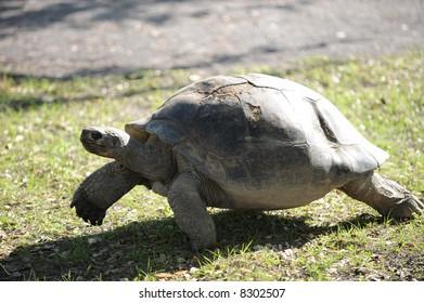 Giant Turtle walking