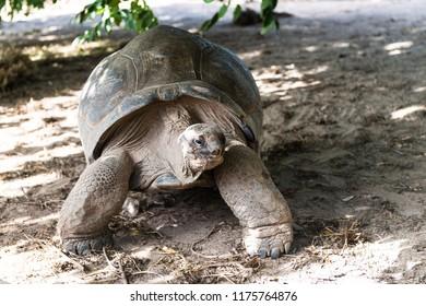 A giant turtle at walking on white beach.