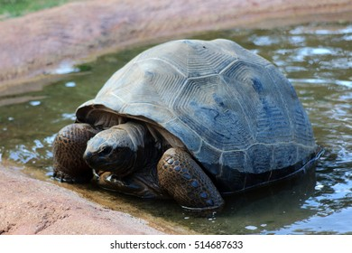 Giant turtle in the water