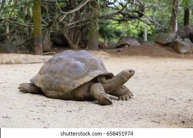 Giant turtles, dipsochelys gigantea in island Mauritius . Close up