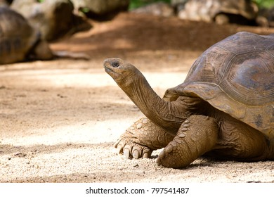 Giant turtles, dipsochelys gigantea in island Mauritius , Close up