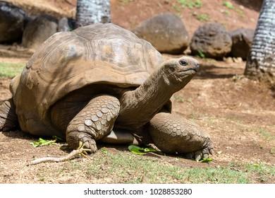 Giant turtles, dipsochelys gigantea in tropical island Mauritius , Close up