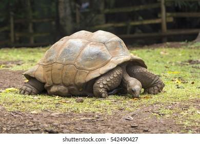 giant turtles (Dipsochelys gigantea) in tropical park in Mauritius