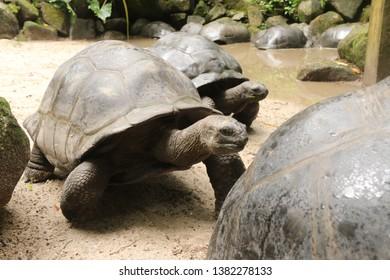 Giant Turtles at Mahé Island, Seychelles.