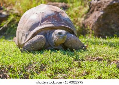 Giant turtles in local zoo, La Vanille park Mauritius, Mauritius, Indian ocean