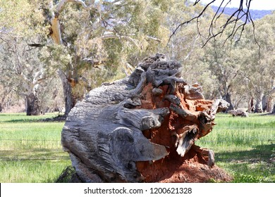Giant uprooted gumtree eucalyptus tree trunk with iron rich soil attached to roots laying on its side in field, Flinders area South Australia, tree fall