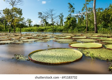 Giant victorian lilly pads in early morning sunshine on amazon rio yarapa