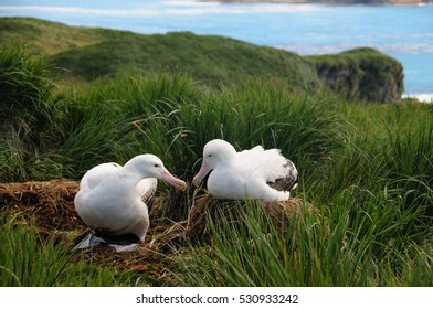 Giant Wandering Albatross Couple engaged in a courtship ritual on Prion Island, South Georgia.