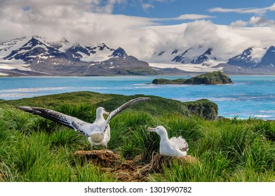 A Giant Wandering Albatross - Diomedea exulans - couple on their nest on Prion Island, South Georgia. These giant sea birds oftentimes form dedicated couples.