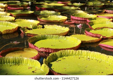 Giant water lilies, Mauritius.
