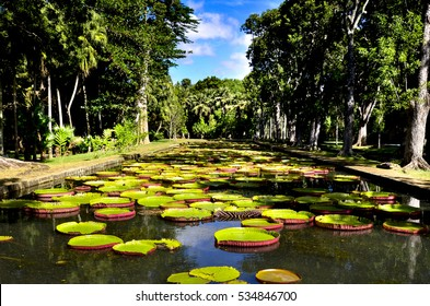 Giant waterlilies in pond from Pamplemousses botanical gardens, Mauritius