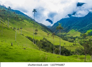 Giant wax palms in Cocora Valley, Colombia
