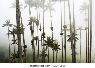 Giant Wax Palms in the Fog