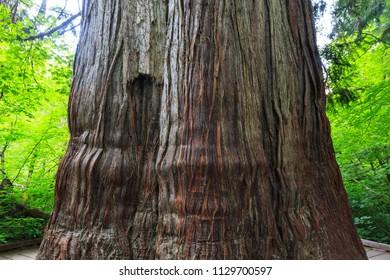 Giant Western Red Cedar in Mt Rainier National Park