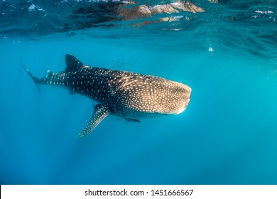 Giant Whale Shark swimming peacefully in open ocean
