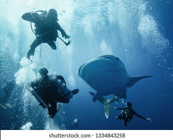 Giant whaleshark with divers