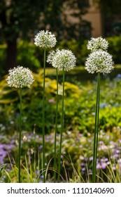 Giant white Allium, sort Mount Everest in garden