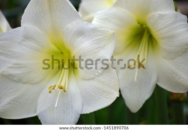 Giant White Amaryllis close up