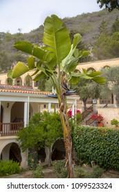 Giant white bird of paradise or Wild banana (Strelitzia nicolai) with distinctive black flowers in mediterranean garden