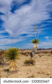 A giant yucca is one of many desert plants found growing in the Big Bend National Park in west Texas.