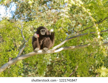 Gibbon hanging out in a tree