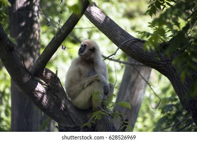 Gibbon in her tree watching butterflies