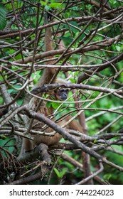 Gibbon hiding behind tree branches