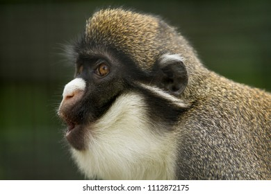Gibbon looking left, mouth agape