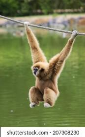 Gibbon monkey hanging on rope