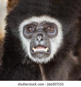 Gibbon monkey   weighs in zoo