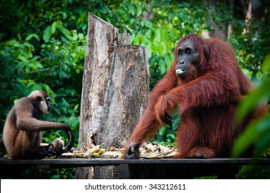 Gibbon and a Orangutang sitting and eating together in national park Tanjung Puting, Kalimantan, Borneo, Indonesia