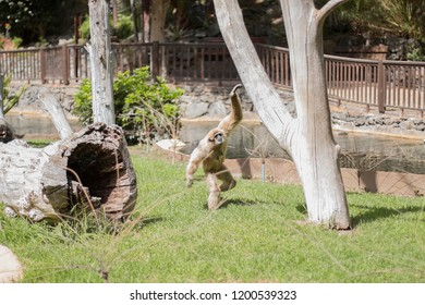 A gibbon playing in a zoo.