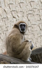 the gibbon sits having reflected in a zoo