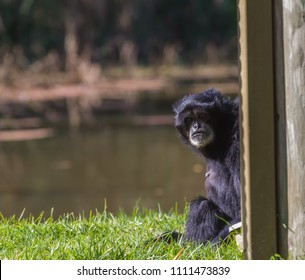 A gibbon sitting and looking