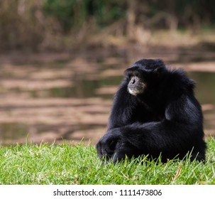 A gibbon sitting  on the ground and looking