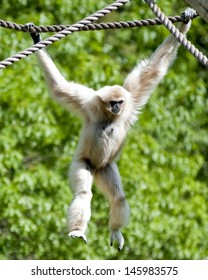 A gibbon swinging from ropes in a zoo.