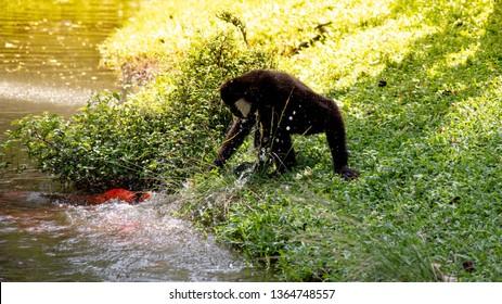 Gibbon tried to catch fish