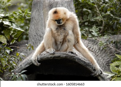 Gibbons. Hylobates white and black  Lar gibbons Scientific classification. Apes with baby