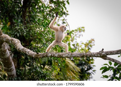 Gibbons on trees, tropical rainforest, Khao Yai National Park, Thailand
