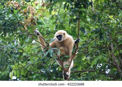 Gibbons stood on trees