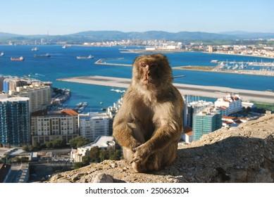 Gibraltar Barbary Macaque ape sitting on wall