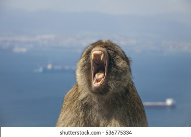 Gibraltar - Face of Barbary macaque monkey showing his teeth and jaws sitting with the sea behind